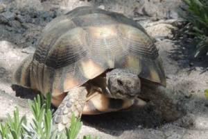 Breitrandschildkröte
