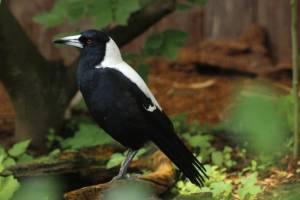Flötenvogel