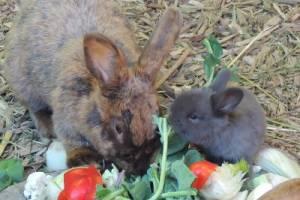 Deutsches Großsilber-Kaninchen