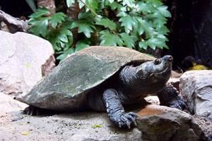 Madagaskar-Schienenschildkröte