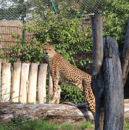 Ein Neuzugang bei den Sudangeparden