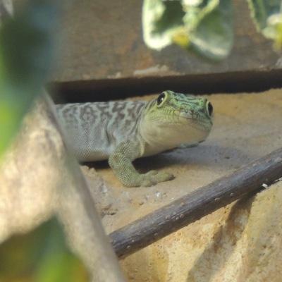 Madagassische Dornwaldtaggecko
