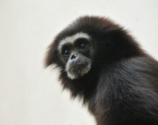 Gibbon im Landauer Zoo