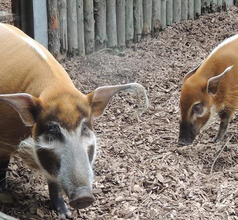 Ein Neuzugang bei den Pinselohrschweinen