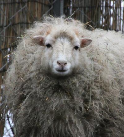 Wieviel Gramm Wolle hat ein Schaf?