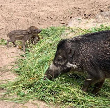 Erste erfolgreiche Nachzucht von hochbedrohten Visayas-Mähnenschweinen